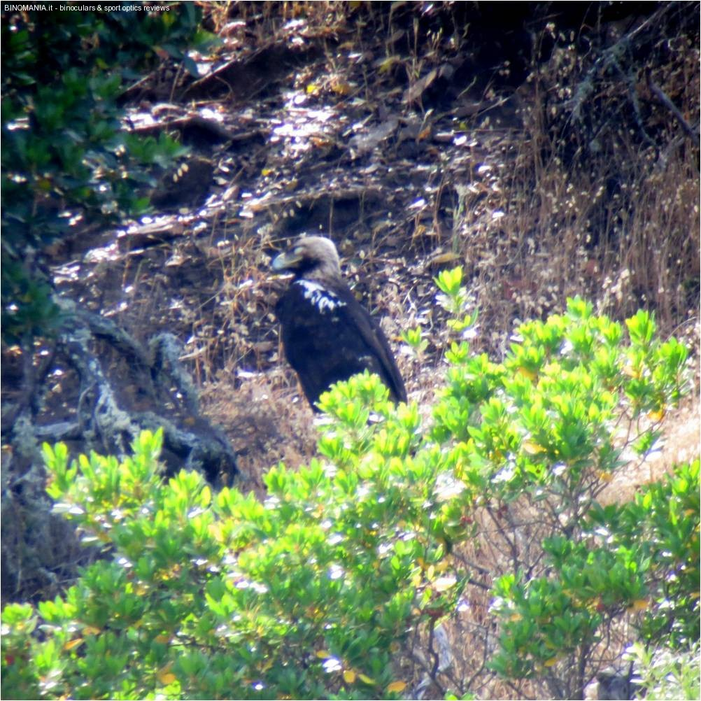 Aquila imperiale spagnola ripresa in digiscoping