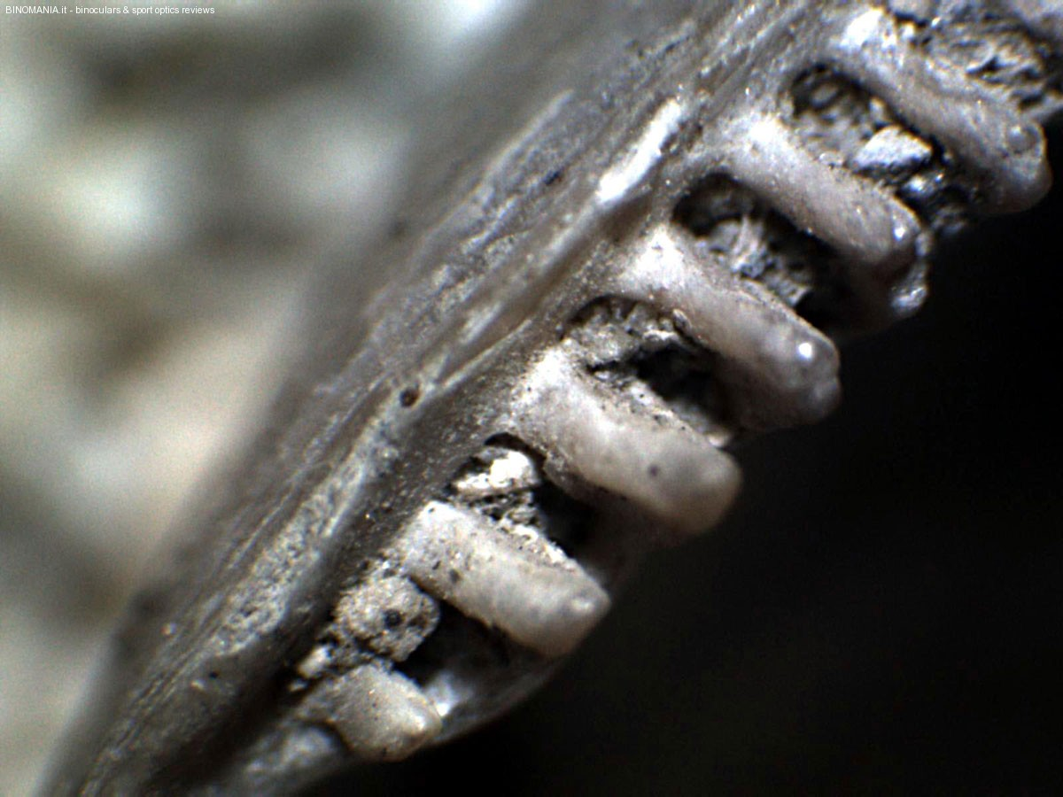 Le costolature del bordo della conchiglia fossile