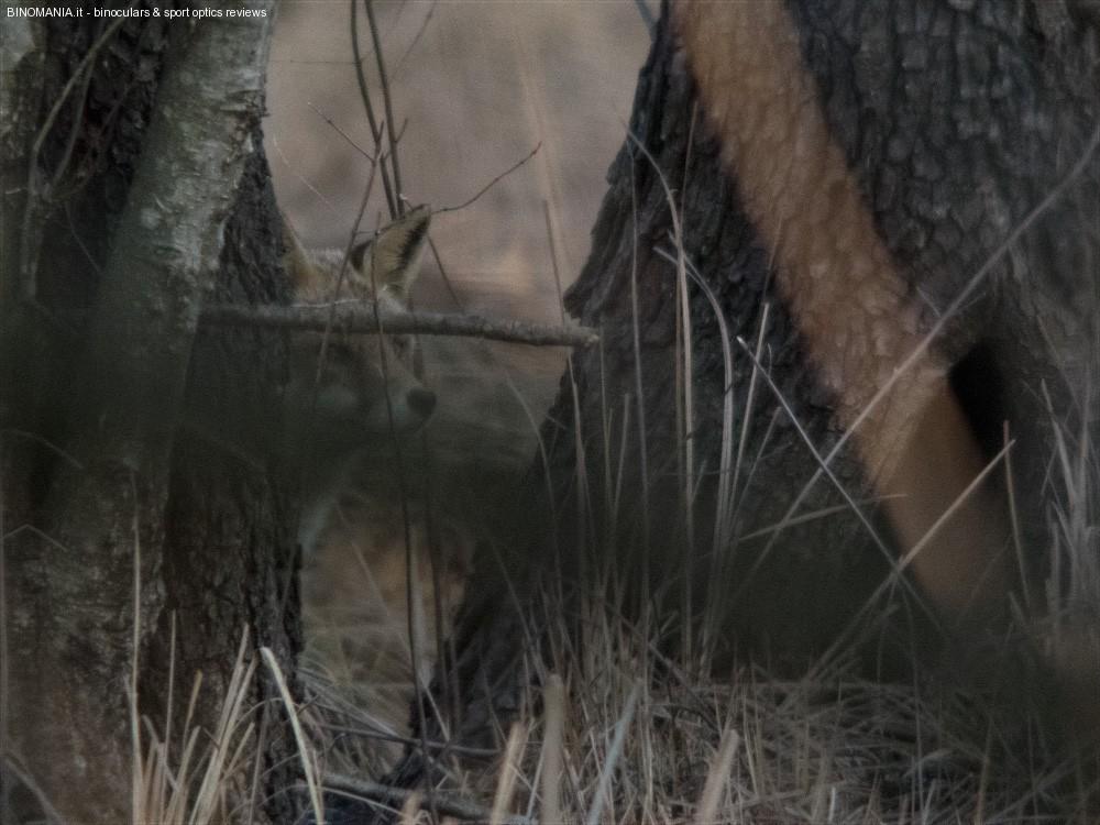 Una situazione osservativa molto difficile: Volpe al crepuscolo, celata dalla vegetazione. Foto di Paolo Monti