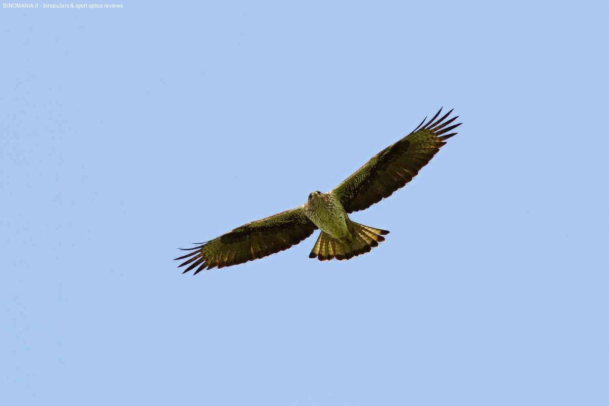 La meravigliosa Aquila del Bonelli.
