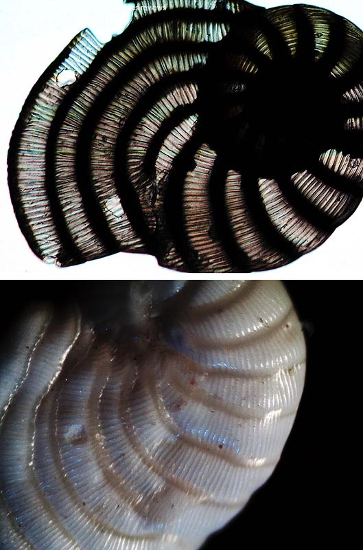Foraminiferi fossili, vista per trasparenza e, in basso, vista in episcopia.